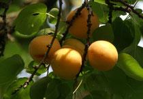 Selbstversorgung mit Obst: Marillen