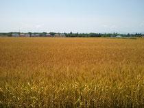 2012/06/04 玉村町の麦畑