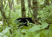 小熊はすぐ薮の中へ