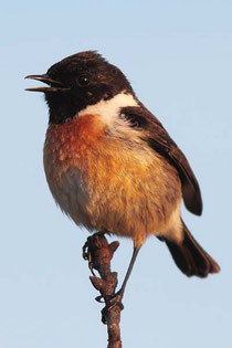 Brutvogel im Hankhauser Moor: das Schwarzkehlchen, Foto Schäfferling