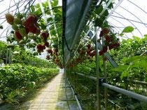 皆口農園のイチゴ摘み取り