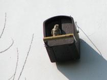 Turmfalkenmännchen am Brutkasten