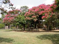 庭園東側の百日紅の花