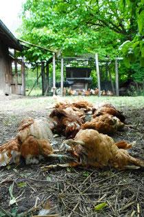 Vom Fuchs getötete Hühner nach Eindringen ins Hühnerhaus Foto: Leo Wyden