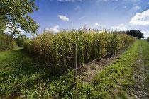 Korrekt eingezäuntes Maisfeld Foto: Leo Wyden