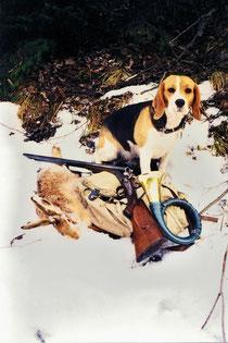 Der Jagdbeagle heute Bild: Albert Bauer, Tirol