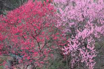 中能登町花見月 2013-04-21