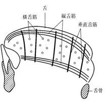 図5 内舌筋の構造(模式図)