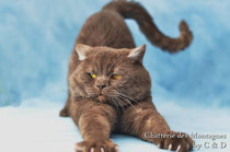 elevage de chat british longhair shorthair