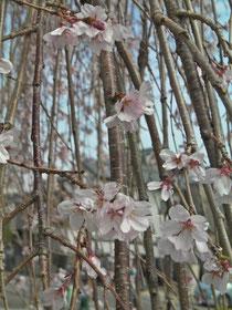枝垂桜  全盲の杉浦さん撮影