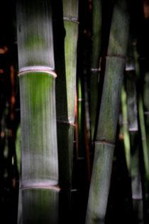 bambou au vietnam