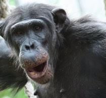 Wegen seiner Kletterkünste zählt der 16-jährige Ubangi zu den Besucherlieblingen im neuen Menschenaffengehege. | Foto: Zoo