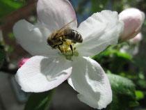 Honigbiene auf einer Apfelblüte