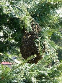 Ein Bienenschwarm in einem Baum auf dem Nachbargrundstück. Der Schwarm kam unerwartet.
