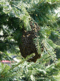 Bienenschwarm in einer Douglasie