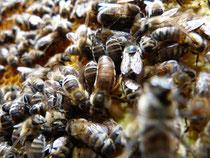 Bienenkönigin auf einer Wabe