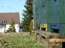 Bienenvölker beim regen Ein- und Ausflug, im Hintergrund Gebäude