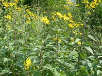 Blühpflanzen im eigen Garten, hier Topinambur