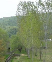 実家の近くのポプラのある風景