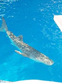 ジンベイザメです!!大きいです!!