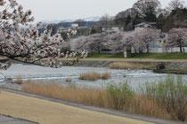金澤 犀川の桜
