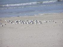Quend-plage-les-pins hébergements de proximité  www.gitesdumarquenterre.com 03.22.25.66.21 cote picarde / Baie de Somme