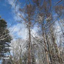 麓郷の森の冬景色