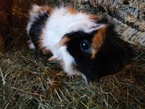 Heidi, Schweinedame