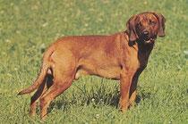 Bayr. Gebirgsschweißhund
