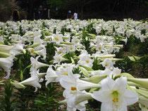沖縄県総合運動公園のテッポウユリ