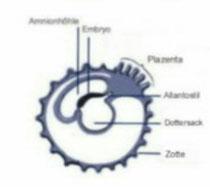Blastocyten