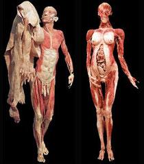 Dr. Gunther Von Hagens. Anatomía para principiantes: el sistema motor (2005, 49 min). Artista y cinetífico alemán creador del proceso de plastinación.