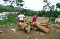 Part of one of the trees that were uprooted by Typhoon Pedring (Nesat) in September 2011