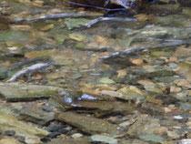 Alaska, das Land der Lachse