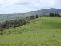Neuseeland mit seinen 45 Mio. Schafen