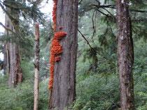 dichte Wälder Kanadas
