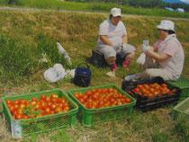 加工用トマトの生産を受託しました