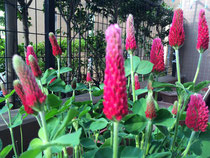ストロベリーキヤンドルの花が咲きました