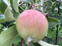 リンゴの赤ちゃんです