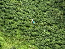 望遠レンズで覗く茶畑で働く人影