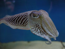 Sepia pharaonensis im Aquarium