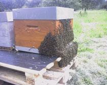 Un jour de forte chaleur, les abeilles sont toutes dehors