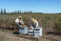 pollinisation des myrtilles au Chili, ( 6 ruches/ha).