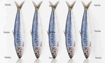 http://jp.fotolia.com/id/11870365 sardines © Yahia LOUKKAL #11870365