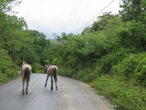 keine ungewöhnlichen Verkehrsteilnehmer - Pferde!