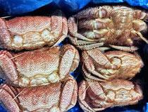 厚岸産の毛蟹