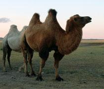 Верблюжья шерсть -уникальное изобретение природы.