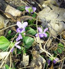 März-Veilchen