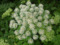 Waldengelwurz-Blüte