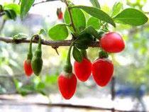 Bacche di goji (Lycium Barbarum)